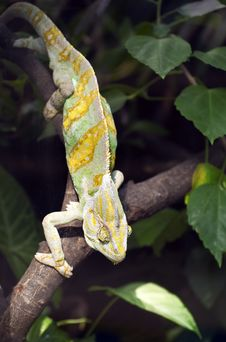 Chameleon  With Open Mouth Royalty Free Stock Photos