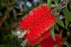 Free Red Bottlebrush Flower Stock Photos - 19205613