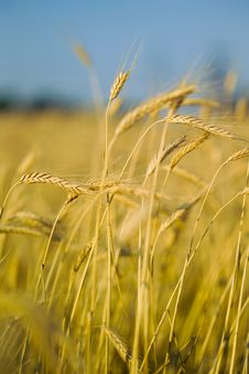 Ears Of Wheat On The Field In The Foreground Stock Image