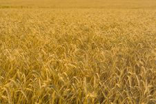 Free Ears Of Wheat On The Field Stock Photography - 19206972