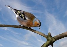 Free Male Chaffinch Royalty Free Stock Photography - 19207077