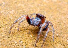 Free Jumper Spider Royalty Free Stock Images - 19209049