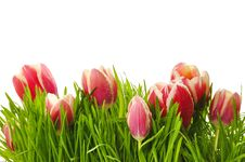 Free Pink Tulips In A Green Grass Royalty Free Stock Images - 19209729
