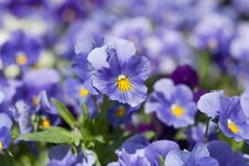 Free Pansy Flowers Royalty Free Stock Image - 19210426