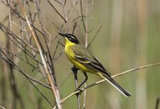 Male Yellow Wagtail Stock Image