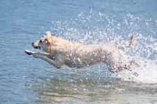 Free Leaping Yellow Lab Stock Photo - 19210940
