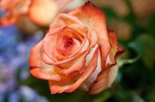 Free Red Rose Stock Photography - 19212522