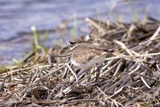 Free Killdeer Blends In With Background. Stock Image - 19212741