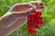 Free Red Currant. Royalty Free Stock Photos - 19212758