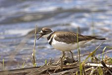 Free Killdeer By The Water. Royalty Free Stock Photography - 19212767