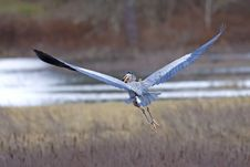 Free Heron Flies With Fish In Beak. Stock Photography - 19212782