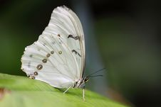 Free White Morpho Butterfly Stock Photos - 19212813
