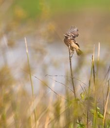 Free A Baby Stonechat Stock Image - 19213171