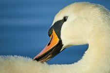 Free Swan Royalty Free Stock Image - 19213426