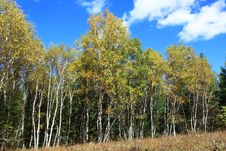 Free Autumn Birch Stock Image - 19215581
