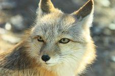 Free White Fox Royalty Free Stock Image - 19215716