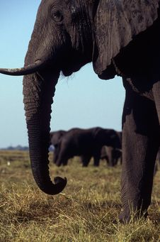 Free Adult Elephants Standing In The Plain. Stock Photography - 19215772