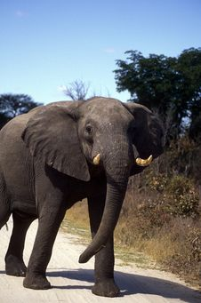 Adult Elephant Frontal View. Royalty Free Stock Images