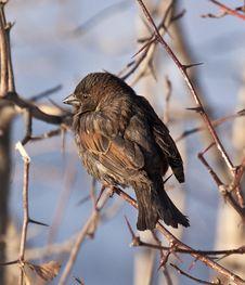 Free Sparrow Stock Photo - 19217260