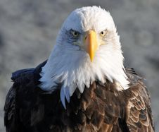 Free Bald Eagle Stock Image - 19219261