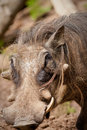 Free Warthog Stock Photography - 19226542