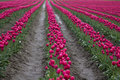 Free Pink Tulip Field Stock Photography - 19227002