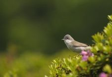 Free Lesser Whitethroat, Sylvia Curruca Stock Photo - 19221170