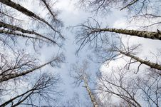 Spring Birch Grove Stock Images