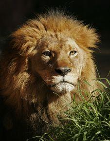 Free Portrait Of Lion Stock Image - 19221901