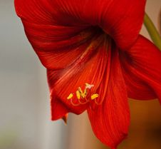 Beautiful Home Amaryllis Flower Stock Photography