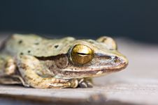 Free Close Up Of Frog Royalty Free Stock Photography - 19222427