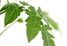 Free Tomato Seedlings Stock Photos - 19223533