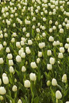 Free White Tulips Royalty Free Stock Photo - 19224445