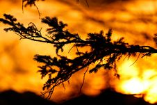 Free Fir Tree Branch During The Sunset Royalty Free Stock Images - 19224589