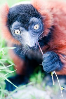Free Young Lemur Eats The Grass. Stock Photo - 19224720