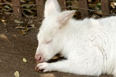 Free Albino Kangaroo Royalty Free Stock Photo - 19225175