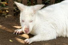 Free Baby Albino Kangaroo Royalty Free Stock Photos - 19225178