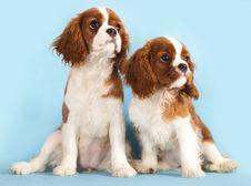 Cavalier King Charles Spaniel Puppy Stock Photos