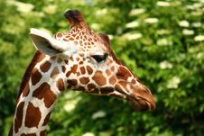Free Giraffe Head Stock Image - 19225341