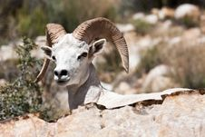 Free Albino Bighorn Ram Sheep Royalty Free Stock Images - 19226079