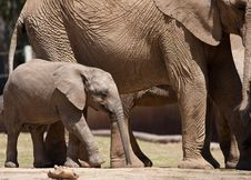 Free African Elephants Stock Images - 19226444