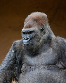 Free Male Gorilla Royalty Free Stock Images - 19226469