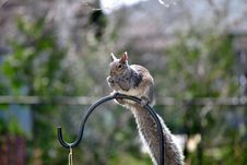 Free Gray Squirrel Stock Photo - 19226570