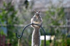 Free Gray Squirrel Royalty Free Stock Photography - 19226577