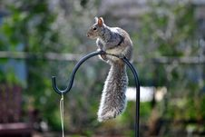 Free Gray Squirrel Stock Image - 19226581