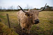 Free Highland Cow Stock Image - 19226731