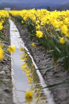 Free Daffodil Field Royalty Free Stock Photo - 19227005
