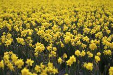 Free Daffodil Field Royalty Free Stock Photos - 19227008