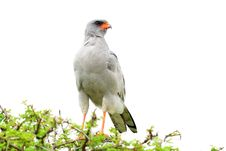 Free Southern Pale Chanting Goshawk,Etosha,Namibia Royalty Free Stock Photos - 19227538