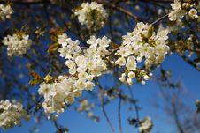 Cherry Branch Flowering Against Blue Sky.